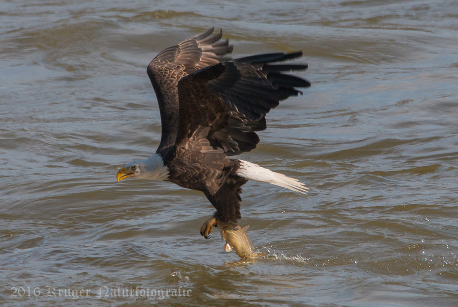 Bald Eagle-0642
