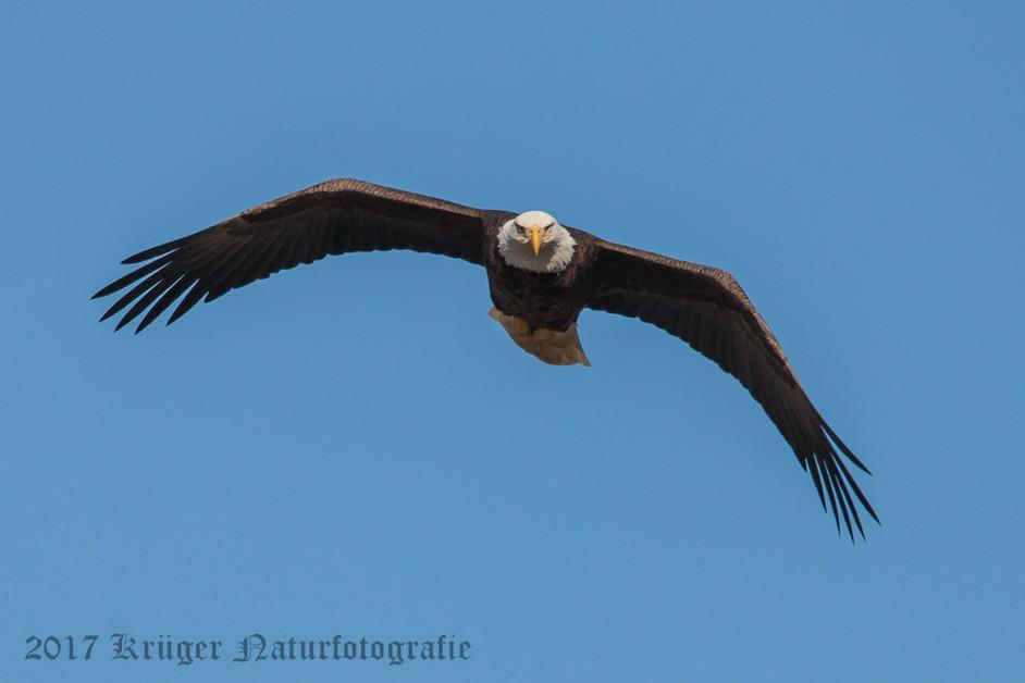 Bald Eagle-2028