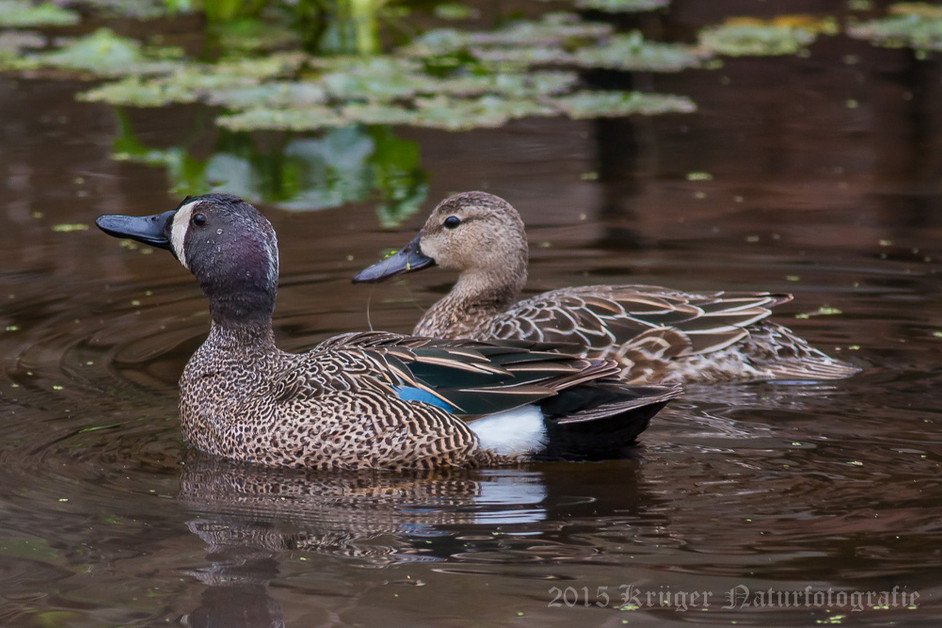 Blue-winged Teal-3494