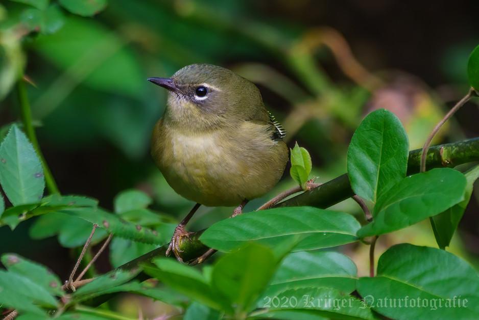 Black-throated Blue Warbler-5299