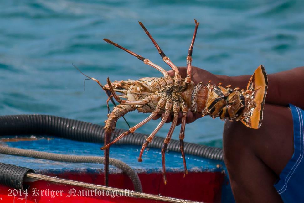 Lobster-2786