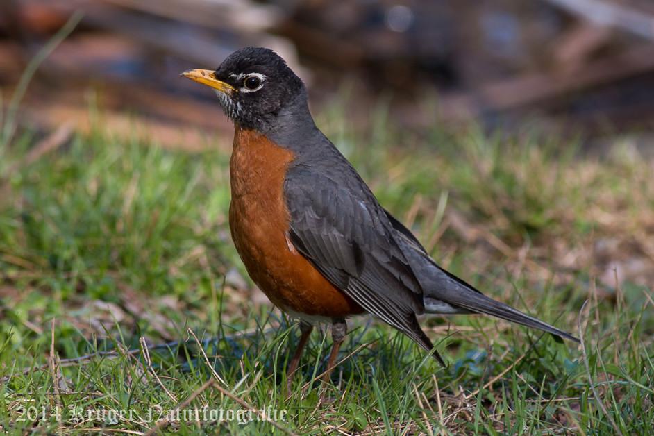 American Robin-3952