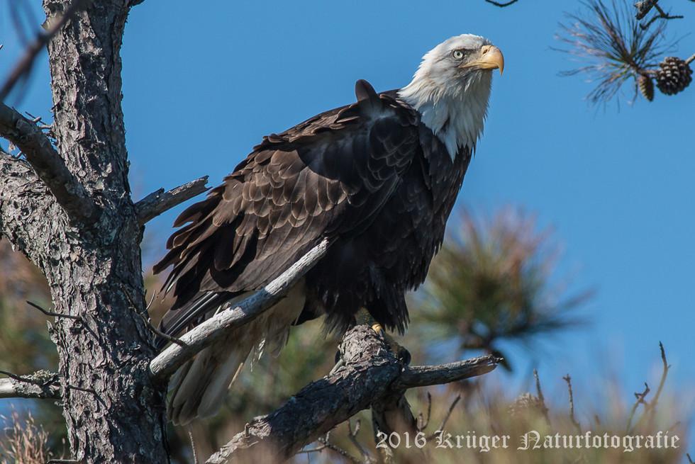 Bald Eagle-9783