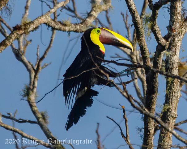 Yellow-throated Toucan-2621