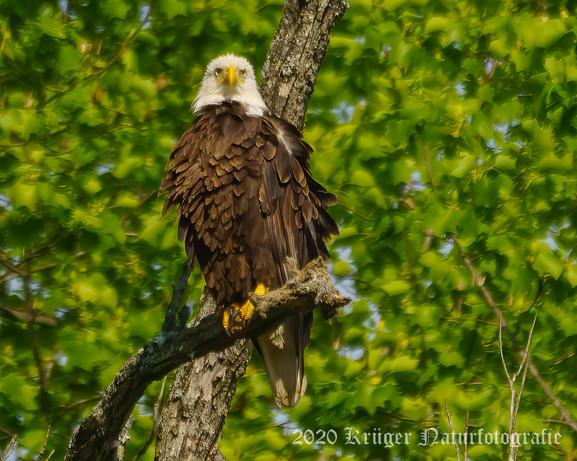 Bald Eagle-2139