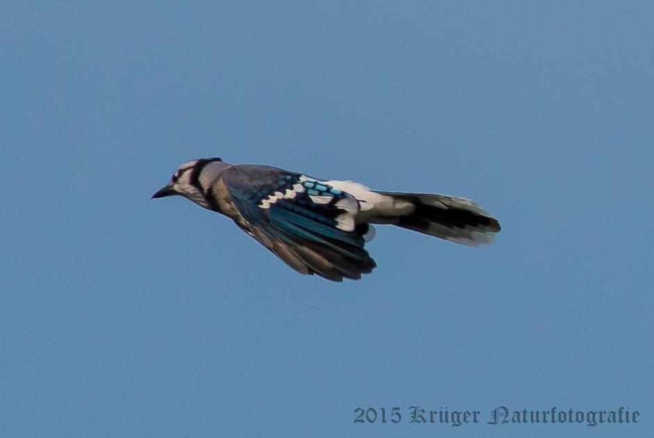 Blue Jay-3848
