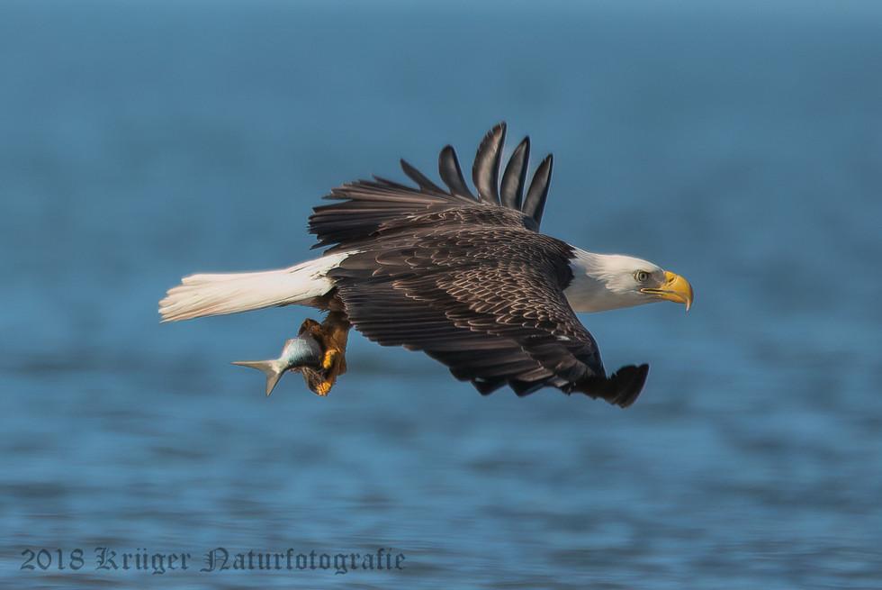 Bald Eagle-0544