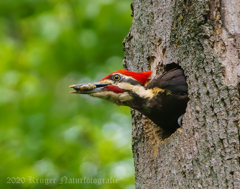 Pileated Woodpecker-3198