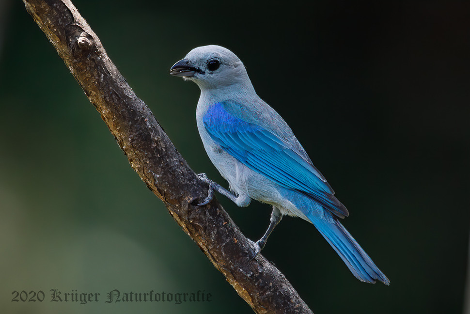 Blue-gray Tanager-2011