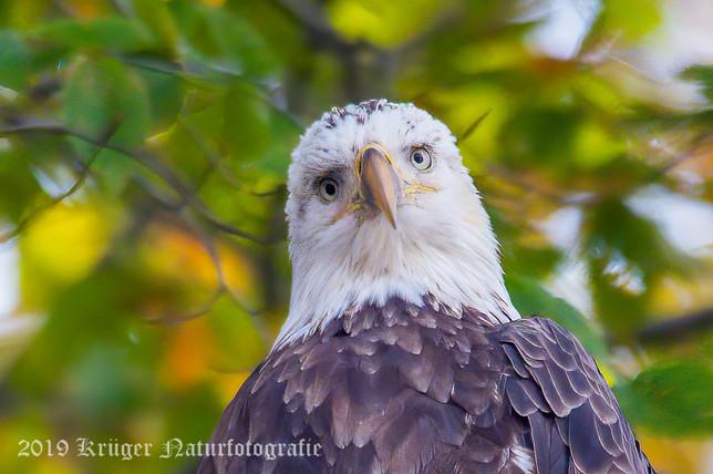 Bald Eagle-2755