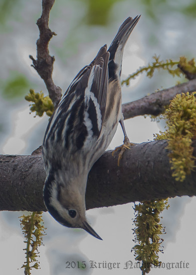 Black-and-white Warbler-9974
