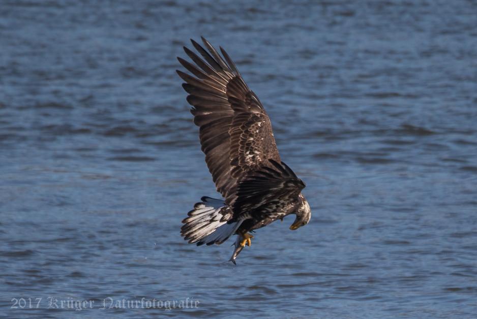 Bald Eagle-4288