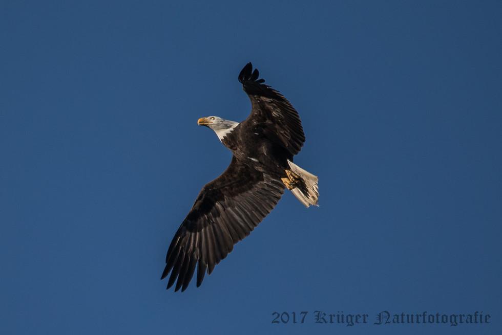 Bald Eagle-3478