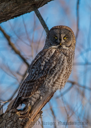 Great Gray Owl-1716