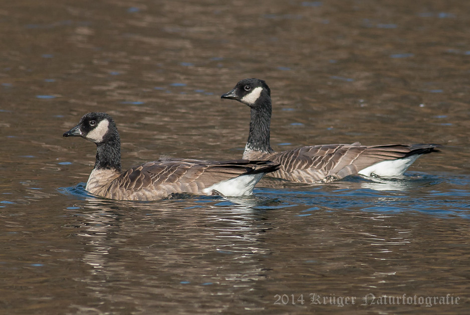 Cackling Goose-9302