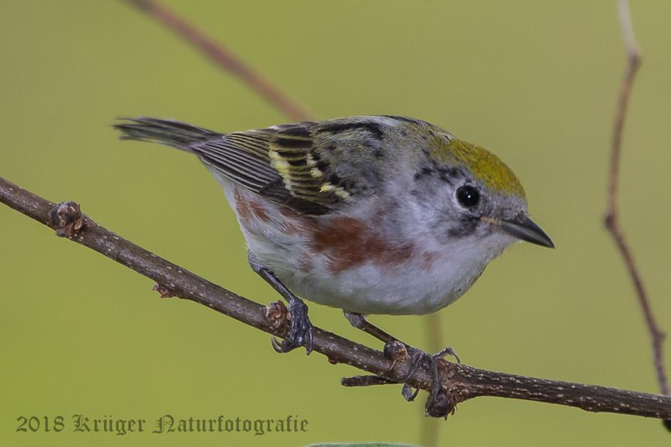 Chestnut-sided Warbler-7339
