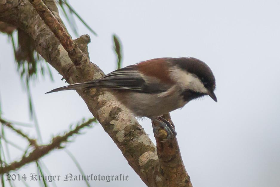 Chestnut-backed Chickadee-8512