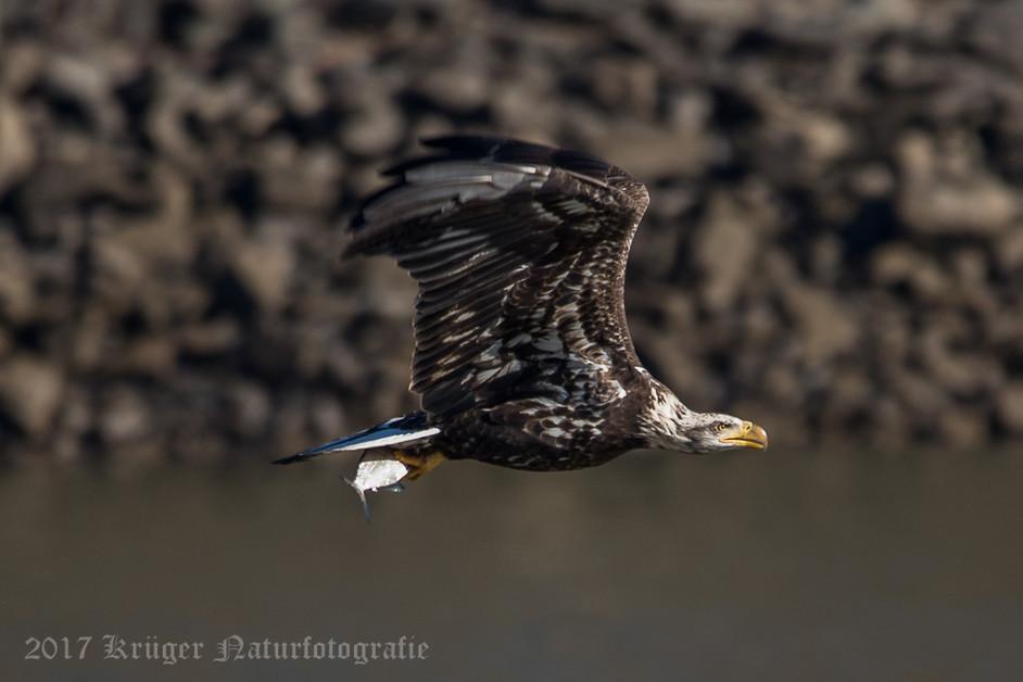 Bald Eagle-4306