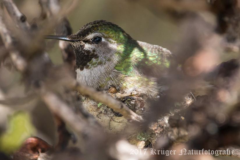 Anna's Hummingbird-3826