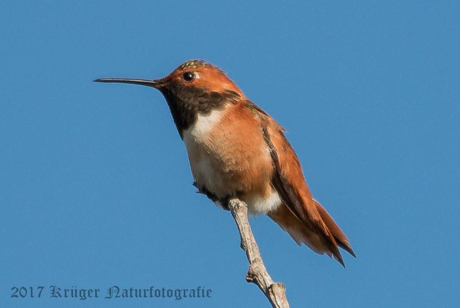 Allen's Hummingbird-4359