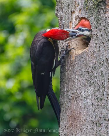 Pileated Woodpecker-3752