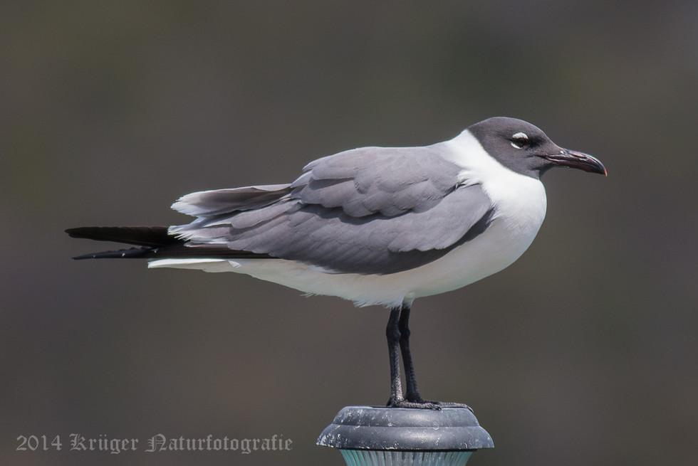 Laughing Gull-2843