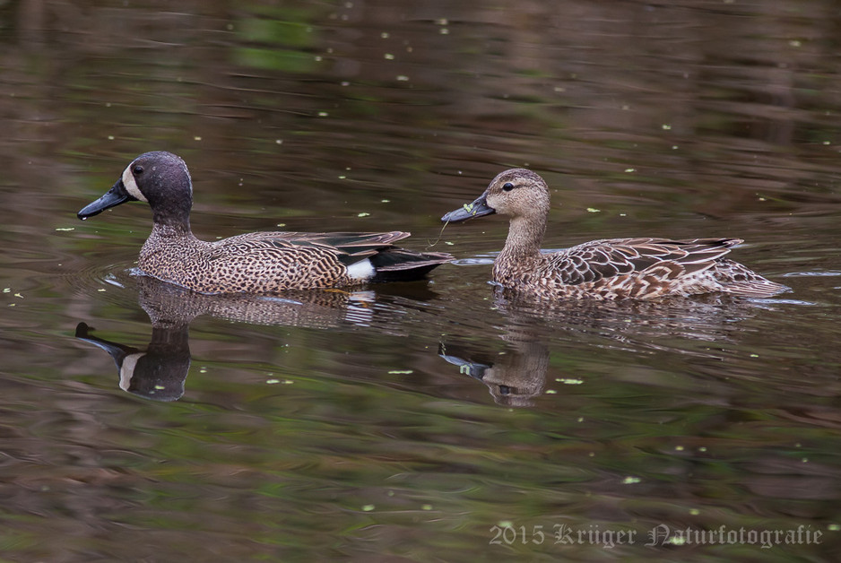 Blue-winged Teal-3485