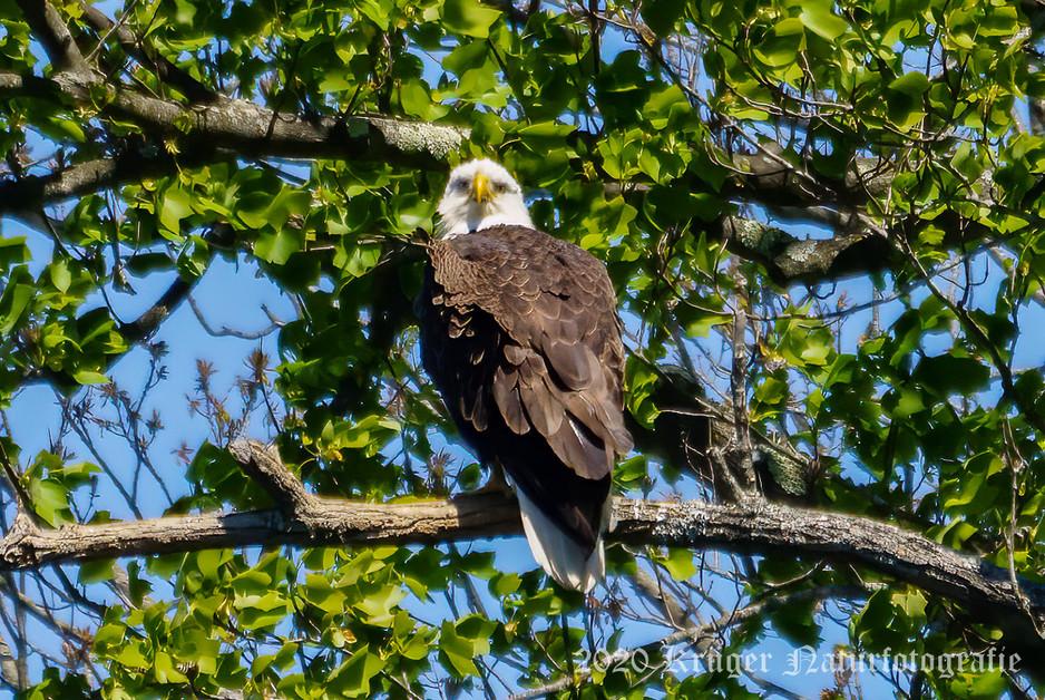 Bald Eagle-1182