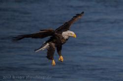 Series 2 - Bald Eagle-4227