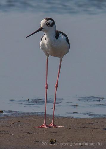 Black-necked Stilt-5779