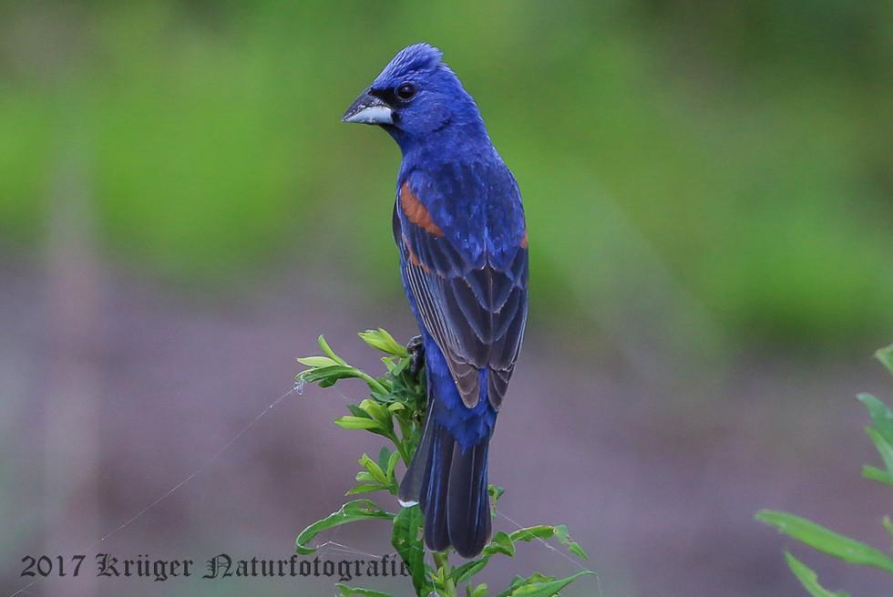 Blue Grosbeak-7809