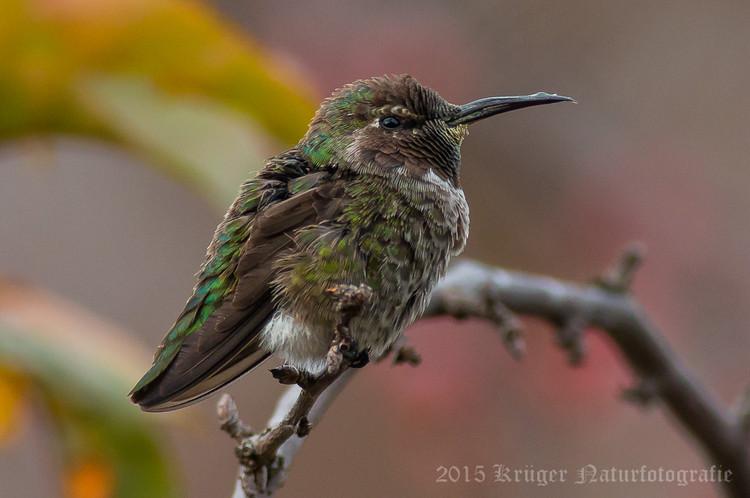 Anna's Hummingbird-2351