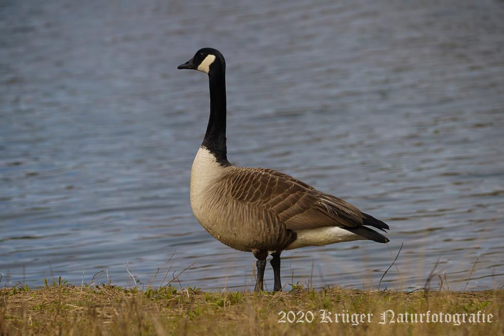Canada Goose-0367