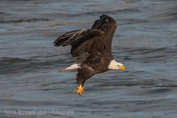 Series 1 - Bald Eagle-0584