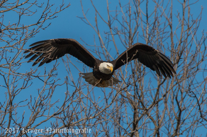 Bald Eagle-2023