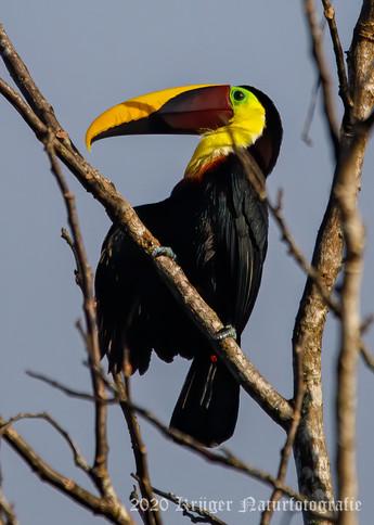 Yellow-throated Toucan-2635