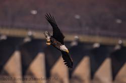 Series 2 - Bald Eagle-4224