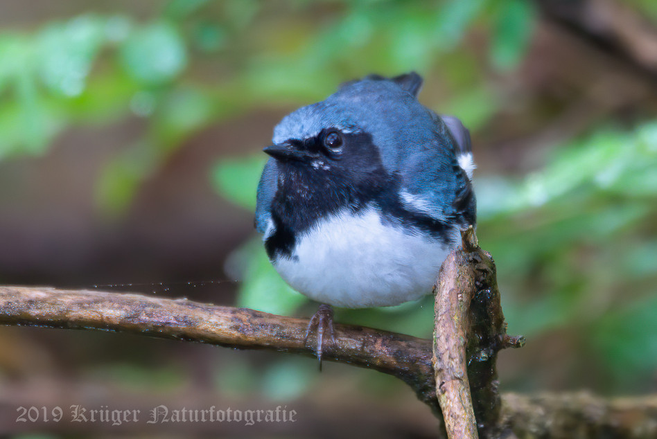 Black-throated Blue Warbler-7947