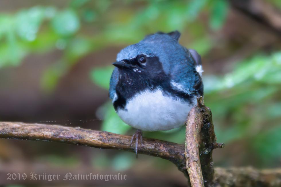 Black-throated Blue Warbler-7947