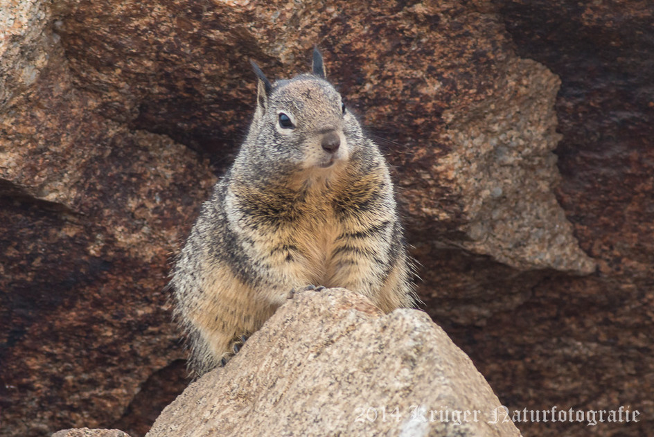 California Ground Squirrel-8220
