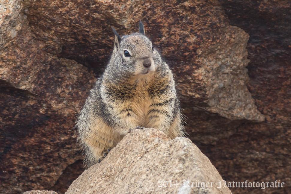 California Ground Squirrel-8220