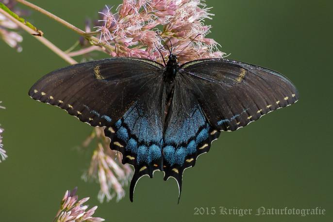 Black Swallowtail-2687