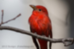 Summer Tanager 2-1298.jpg