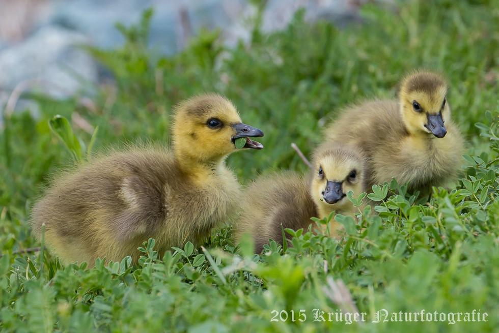 Canada Goose-9678