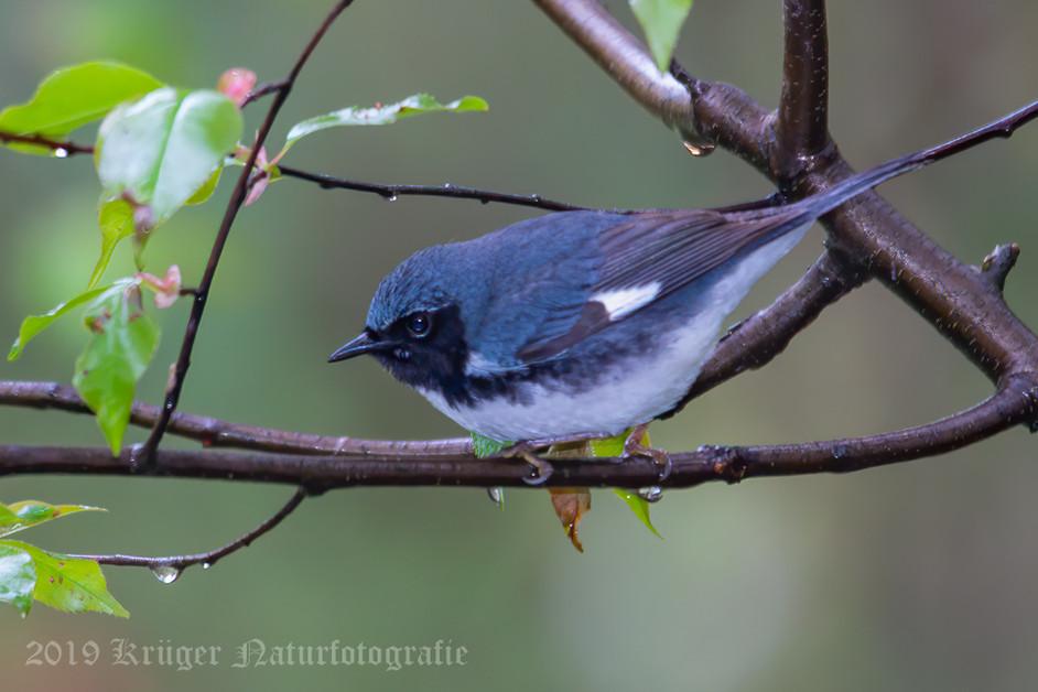 Black-throated Blue Warbler-7949