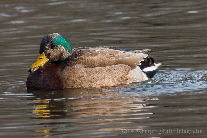 American Black Duck x Mallard hybrid-972
