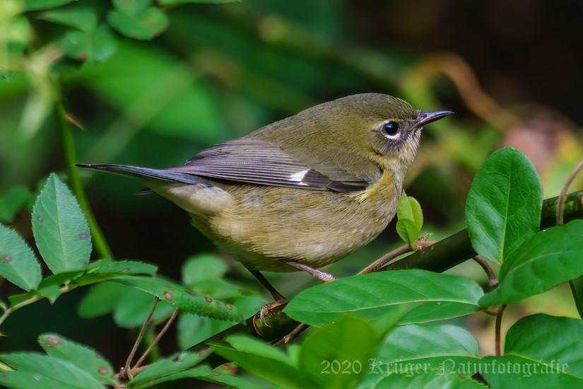 Black-throated Blue Warbler-5305