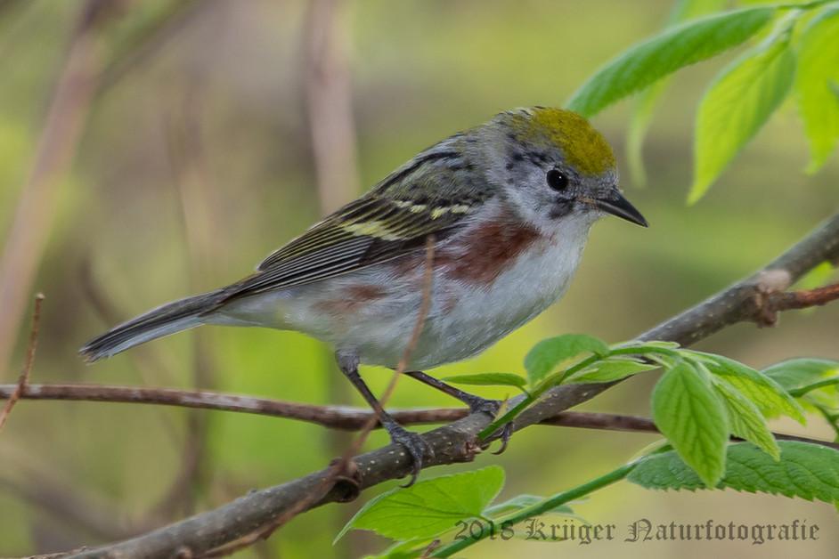 Chestnut-sided Warbler-7345