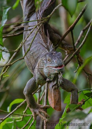Green Iguana-4879