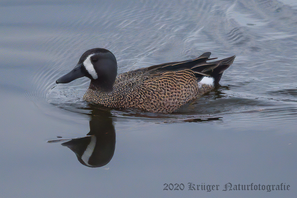 Blue-winged Teal-4785